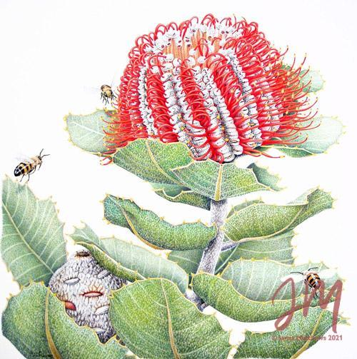 Banksia Coccinea and Bees