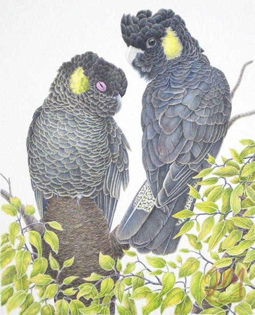 "Janet Matthews wildlife artwork Black Cockatoos YT ""Yep, yep I'm listening"""