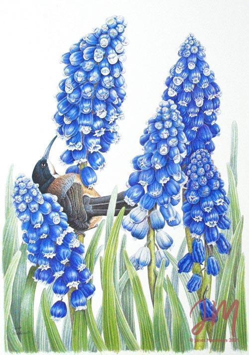 "Janet Matthews botanical artwork Grape Hyacinth and Spinebill ""Blue for lunch"""