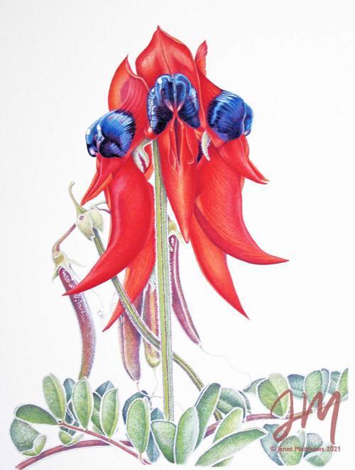 "Janet Matthews botanical artwork Clianthus formosa ""Sturt desert pea"""