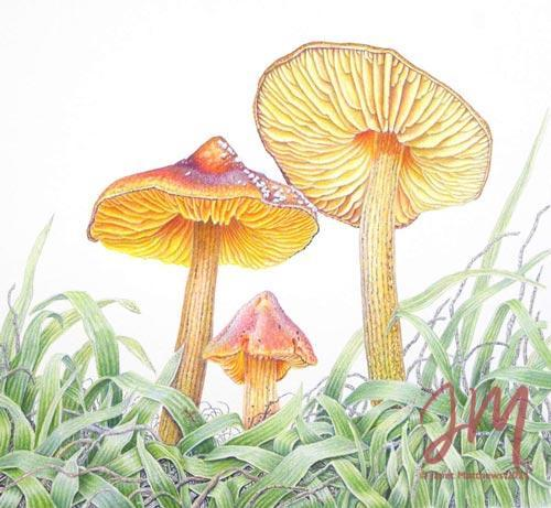 """Janet Matthews botanical artwork Collybia fusipes and ants """"Golden haven"""""""
