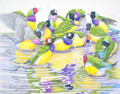 "Janet Matthews wildlife artwork Gouldian Finches ""Bathtime"""