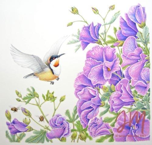 "Janet Matthews botanical artwork Hibiscus Eastern Spinebill ""Ooo, all mine!"""