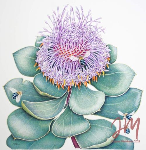 Janet Matthews botanical artwork Isopogon latifolias and Blue Banded Bees