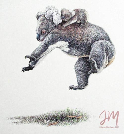 """Janet Matthews wildlife artwork Koala """"Hang on tight!"""""""