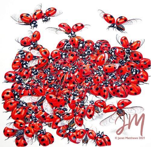 "Janet Matthews botanical artwork Ladybugs 7 Spotted ""Here we come"""