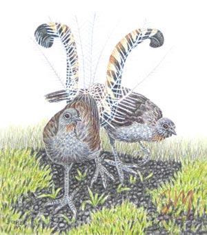 "Janet Matthews miniatures artwork Lyrebirds ""Taking a stroll"""