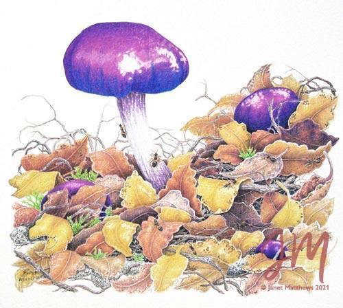 "Janet Matthews botanical artwork Cortinarius arceriberk ""Ant heaven"""