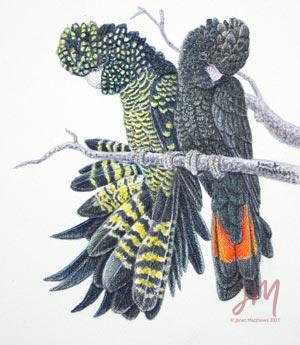 """Janet Matthews Miniatures Artwork Red tailed Black cockatoos """"Hello gorgeous"""""""