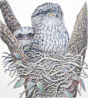 "Janet Matthews miniatures artwork Tawny Frogmouths ""Shh don't fidget"""