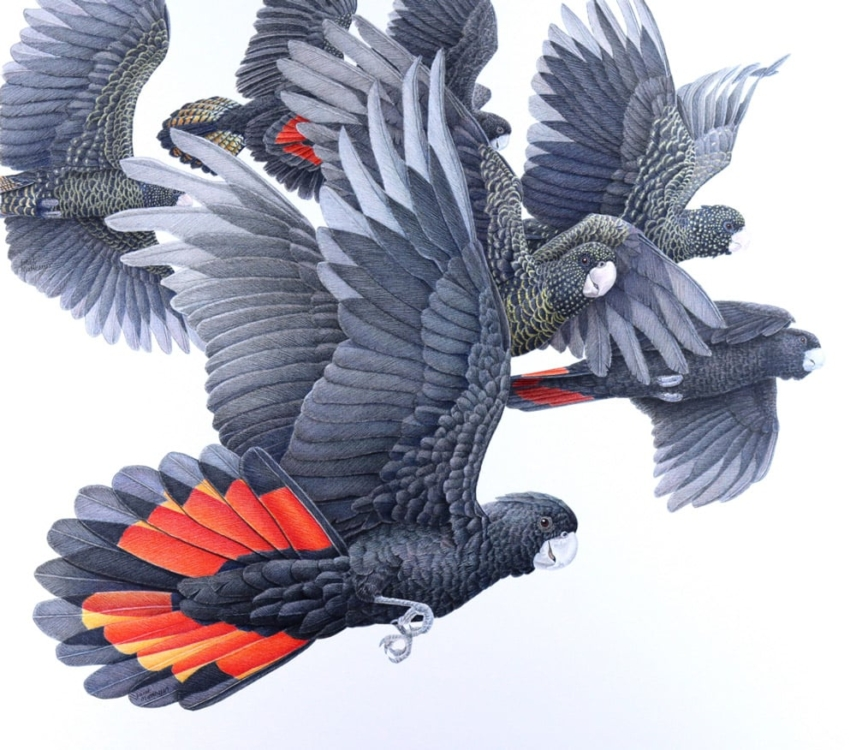 Just flying through Red Tailed Black cockatoos pencil artwork artist
